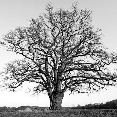 A big old oak in the Werra Valley at Herleshausen Banco de Imagens