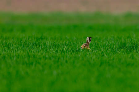 A wild hare on a field