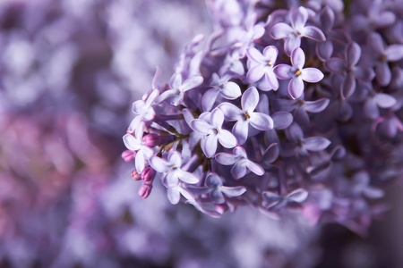 Close-up beautiful lilac flowers photo