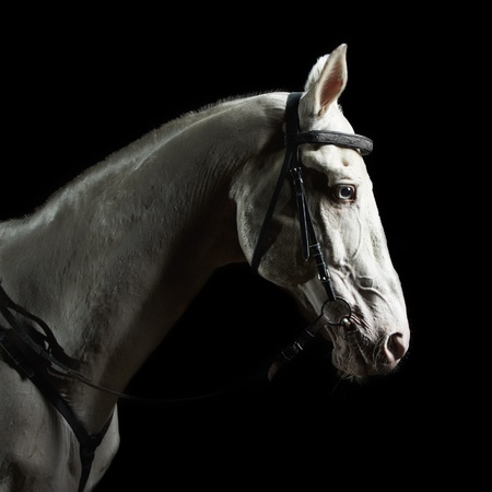 Closeup portrait white horse in the dark photo