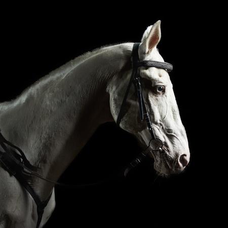 horse chestnut: Closeup portrait white horse in the dark Stock Photo