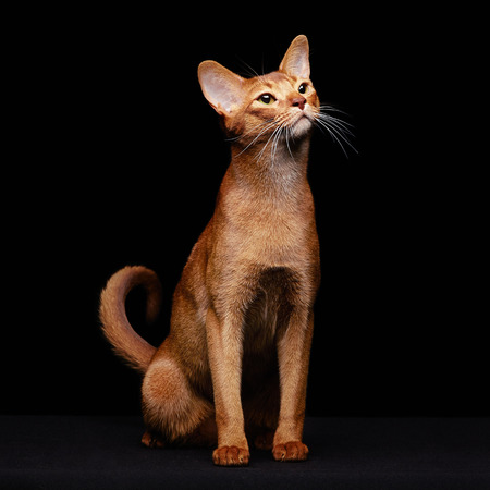 abyssinian cat: Portrait of beautiful young abyssinian cat. Close up of red cat.  Isolated on black background
