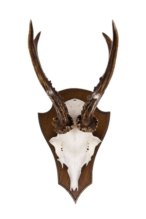 Roebuck horns as wall decoration isolated on a white background photo