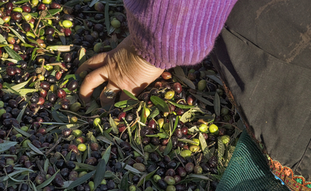 Greece, Olympos - A woman spend their days harvesting olives and sorting them, hand closeup