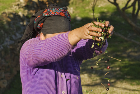 Greece, Olympos - A woman spend their days harvesting olives and sorting them Stock Photo