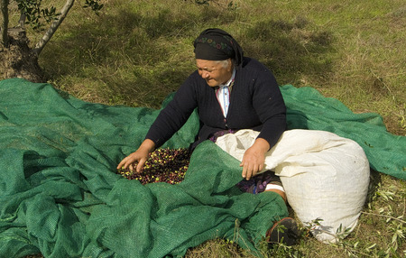 Greece, Olympos - November 06, 2009 : in Olympos women spend their days harvesting olives and sorting them