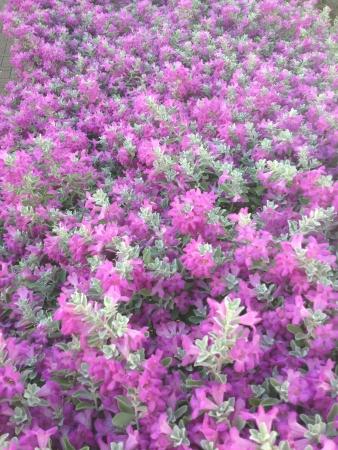 purple flowers: purple flowers