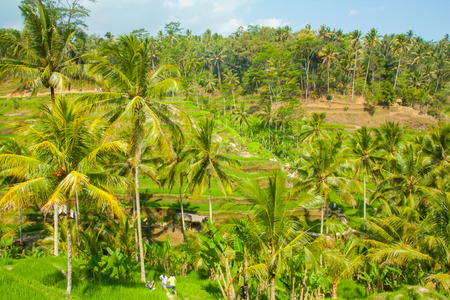 ubud: rice terraces at Tegalalang, Ubud, Bali.