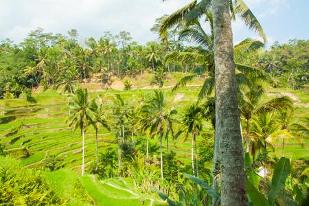 ubud: Beautiful rice terraces at Tegalalang, Ubud, Bali. Stock Photo