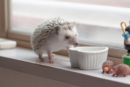 pygmy: Life of cute hedgehog in the room