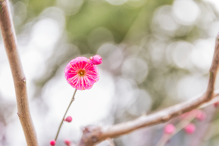Pink Plum blossoms blooming in Japan