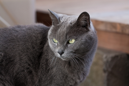 grey eyed: my gray cat cool face