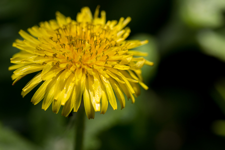 Dandelion wet with morning dew Stock Photo