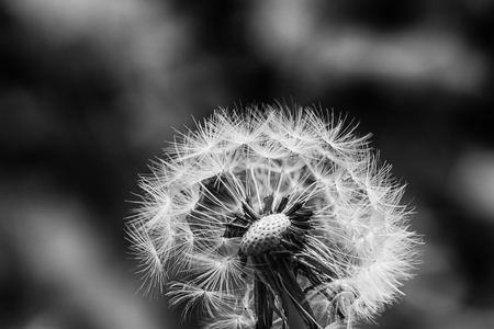 Black and white dandelion with morning dew Stock Photo