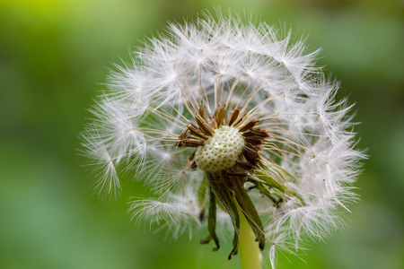 White dandelion with morning dew