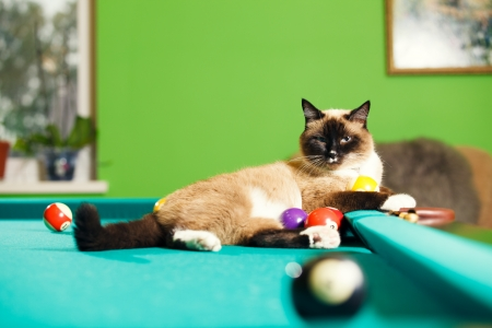 Siamese cat laying on the pool table photo