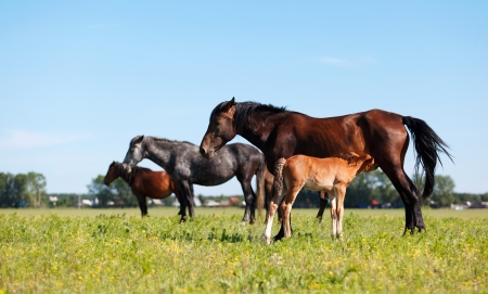 adult breastfeeding: A mare and her offspring in a green field of grass. Other horses and village on background Stock Photo