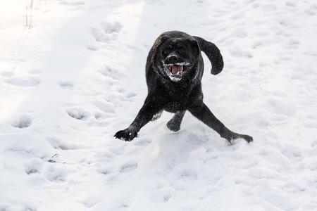 Ritriver Labrador in the snow in winter photo