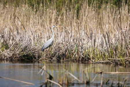 Profile of great blue heron on the lake photo
