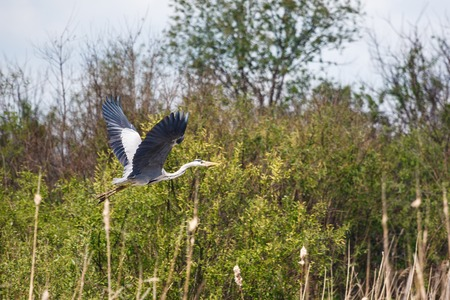 Blue heron spreads its wings wide while flying Stock Photo