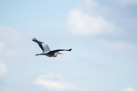 wing span: Blue heron spreads its wings wide while flying Stock Photo