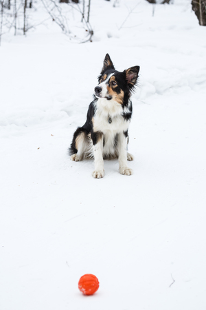 collies: Tricolor border collie have fun in winter outdoors