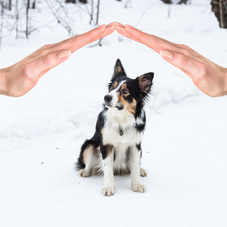 collies: Tricolor border collie playing in winter outdoors