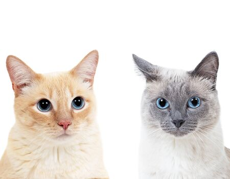 Blue-point colored thai cat and tabby ginger cat together. Stock Photo