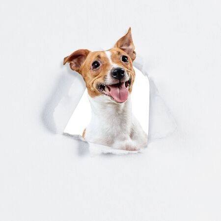 Jack russell terrier looks through the hole in white paper. 写真素材 - 133696291