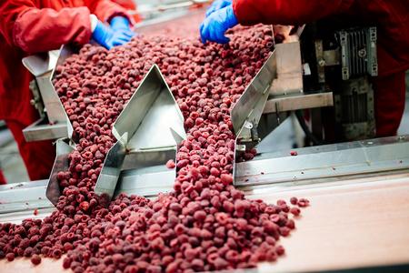 Fábrica de congelación y envasado de frutas. Las manos del trabajador irreconocible en guantes protectores azules trabajando en línea para la selección de frambuesas congeladas. Foto de archivo