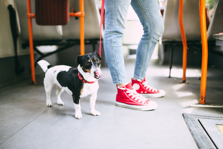 Young woman standing in city bus with her jack russell terrier.