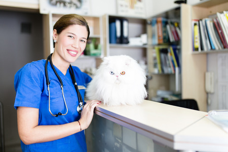 Beautiful white odd-eyed Persian cat at veterinary.