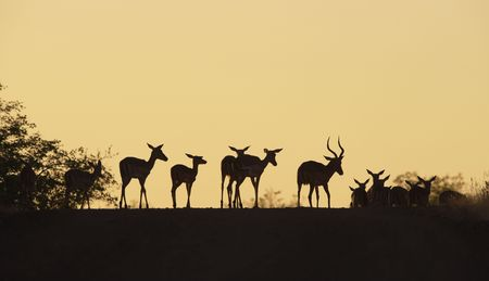 Group of red impala (Aepyceros melampus) standing on the road in the nature reserve at sunset in South Africa photo