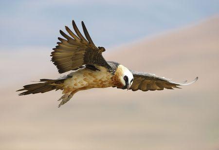 beak vulture: Lammergeyer or Bearded Vulture (Gypaetus barbatus) in flight looking for prey in South Africa Stock Photo