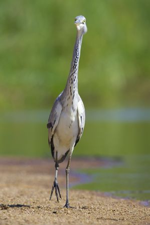 ardea cinerea: Grey Heron (Ardea Cinerea) walking on sand next to the water in nature reserve in South Africa