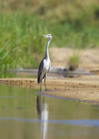 Grey Heron (Ardea Cinerea) walking in the water in nature reserve in South Africa photo