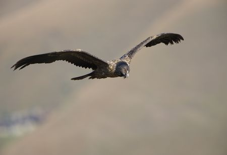 Juvenile Lammergeyer or Bearded Vulture (Gypaetus barbatus) in flight looking for prey in South Africa photo