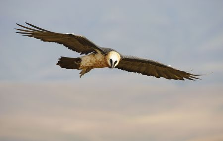 Lammergeyer or Bearded Vulture (Gypaetus barbatus) in flight looking for prey in South Africa photo