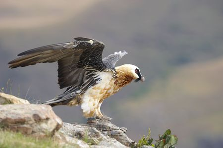 south african birds: Gipeto o Bearded Vulture (Gypaetus barbatus) seduti sulle rocce in Sud Africa