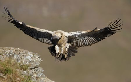 The Cape Griffon or Cape Vulture (Gyps coprotheres) landing onto the rock in South Africa. It is an Old World vulture in the Accipitridae family photo