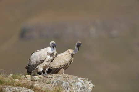 accipitridae: Two Cape Griffon or Cape Vultures (Gyps coprotheres) sitting on the rock in South Africa. It is an Old World vulture in the Accipitridae family