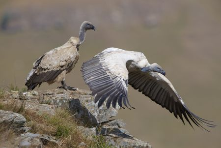 Two Cape Griffon or Cape Vultures (Gyps coprotheres) sitting on the rock in South Africa. It is an Old World vulture in the Accipitridae family photo
