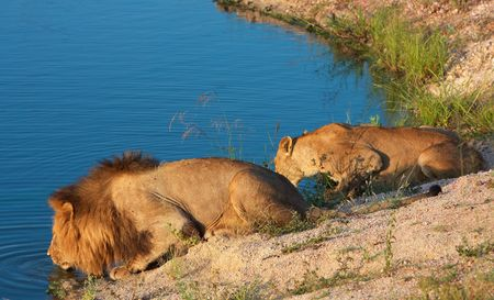 Lion (panthera leo) and lioness drinking water from the lake in South Africa