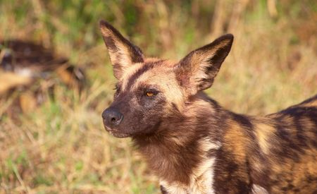 endangered species: African Wild Dog (Lycaon pictus), highly endangered species of Africa