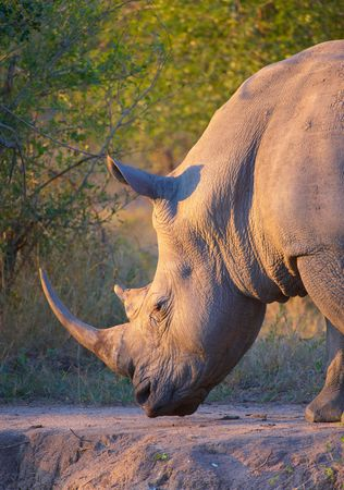 Large white (square-lipped) rhinoceros (Ceratotherium simum) bull grazing in the nature reserve in South Africa Stock Photo - 5916412