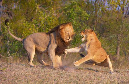 panthera leo: Le�n (panthera leo) y Leona combates como parte de apareamiento ritual en bushveld, Sud�frica
