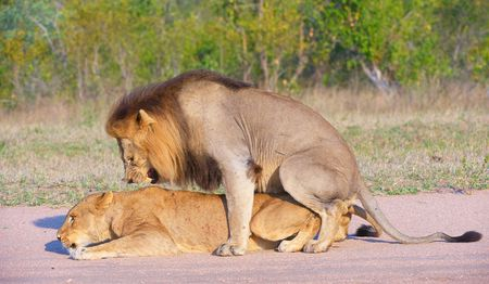 Lions (panthera leo) mating in the wild in South Africa  photo