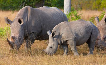 Group of white (square-lipped) rhinoceros (Ceratotherium simum) eating in the nature reserve in South Africa photo