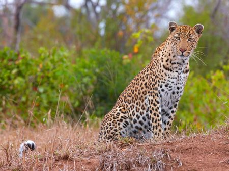 Leopard (Panthera pardus) sitting in savannah in nature reserve in South Africa Reklamní fotografie
