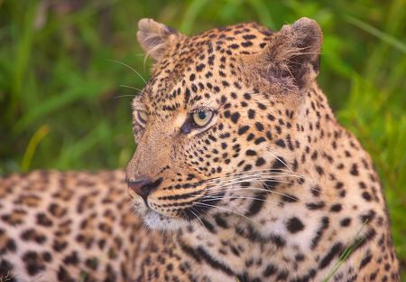 big five: Leopard (Panthera pardus) resting in savannah in nature reserve in South Africa Stock Photo